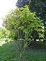Quercus pontica (K. Koch) (Fagaceae) (tree).JPG