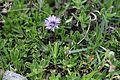 RNN Ristolas - Mont Viso, Globularia cordifolia - img 43213.jpg