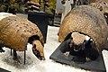 ROM 60 - Pre Armadillos (14359594885).jpg