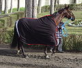 Racing horse with mantle DSC03719.JPG