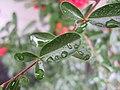 Rain on a pyracantha leaf.jpg