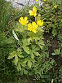 Ranunculus nemorosus 001.JPG