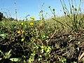 Ranunculus sardous subsp. sardous sl37.jpg