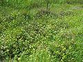 Ranunculus undosus habit1 NWP - Flickr - Macleay Grass Man.jpg