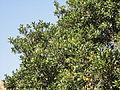 Rapanea melanophloeos, blaarkroon, Louwsburg.jpg