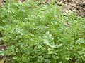 Rau mùi (ngò) -Coriandrum sativum.JPG