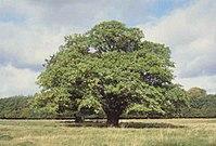An oak tree in Denmark