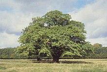 árbol Wikipedia La Enciclopedia Libre