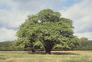 Primary production - An oak tree; a typical modern, terrestrial autotroph