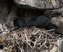 Common raven - Wikipedia