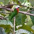 Red-bearded Bee-eater (13893578420).jpg