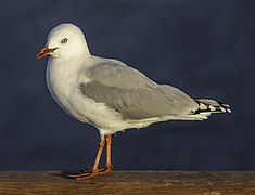 Red-billed gull, New Brighton, New Zealand.jpg