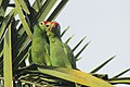 Red-lored parrots Lapa Rios.JPG