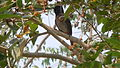 Red-vented Bulbul (Pycnonotus cafer) spotted at Visakhapatnam 01.JPG