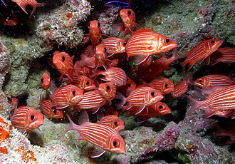 Papahānaumokuākea Marine National Monument - Hawaiian squirrelfish at French Frigate Shoals, Papahānaumokuākea