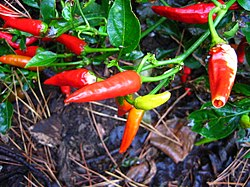 Chilipepper, Capsicum