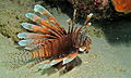 Red Lionfish (Pterois volitans) (8479302765).jpg
