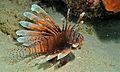 Red Lionfish (Pterois volitans) (8479302765).jpg