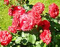 Red Rose flowers 11.jpg
