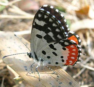 Kottiyoor - Seasonal Butterfly