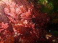 Red seaweeds at Rachel's Reef P2110160.jpg