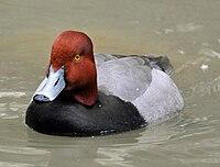 Redhead duck (Aythya americana, male).jpg