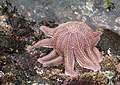 Reef starfish (Stichaster australis) doing push-ups.jpg