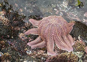 Reef starfish - S. australis rising from the rock near Auckland