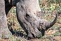 Rhino Kruger NP (21922284728).jpg