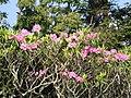 Rhododendron-catawbiense2.jpg