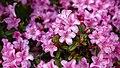 Rhododendron 'Martine' flowers at RHS Garden Hyde Hall, Essex, England.jpg