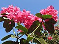 Rhododendron - panoramio - Baden de (3).jpg