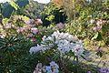 Rhododendron japonoheptamerum in Jotoku-ji Sefuri.jpg