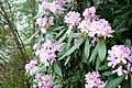 Rhododendron pontica-1.jpg