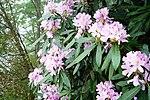 Rhododendron pontica-1.jpg