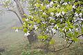 Rhododendron quinquefolium 07.jpg