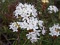 Rhododendron tomentosum 1 (cropped).jpg
