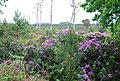 Rhododendrons on Canford Heath - geograph.org.uk - 437082.jpg