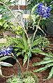 Rhynchostylis coelestis OrchidsBln0906a.jpg