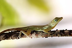 Richard's anole (Anolis richardii) J.JPG