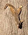 Richardson Squirrel (2155035123).jpg
