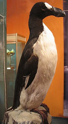 A large, stuffed bird with a black back, white belly, heavy bill, and white eye patch stands, amongst display cases and an orange wall.