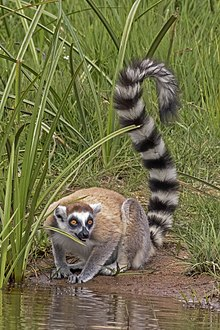 Ring-tailed lemur (Lemur catta).jpg