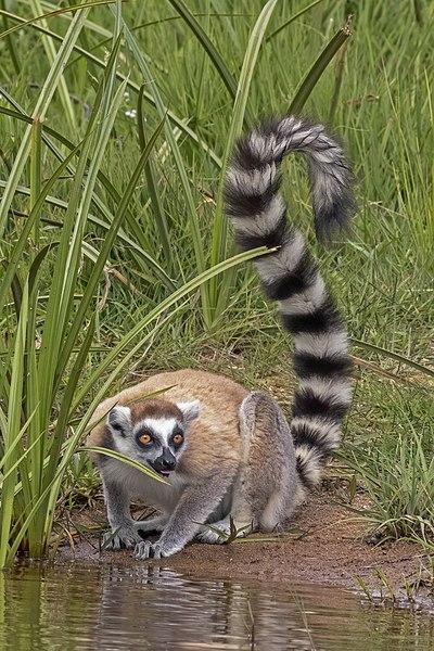 File:Ring-tailed lemur (Lemur catta).jpg