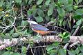 Ringed Kingfisher (5316192542).jpg