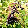 Ripe Elderberries - geograph.org.uk - 1493180.jpg