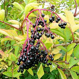 Ripe Elderberries - geograph.org.uk - 1493180.jpg