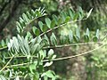 Robinia pseudoacacia - Bagrem (8).jpg