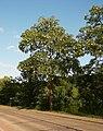 Robinia pseudoacacia D.jpg