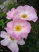 Rosa Escapade1c.UME.jpg